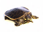 Buy a Florida Softshell Turtle