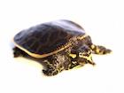Buy a Florida Softshell Turtle