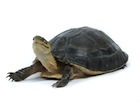 Buy Indonesian Box Turtle