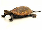 Buy a Japanese pond turtle