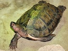 Buy Malayan Wood Turtle