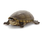 Buy Mississippi Mud Turtle