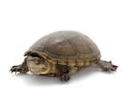 Buy Mississippi Mud Turtle