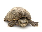 Buy a Musk Turtle