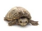 Buy a Musk Turtle