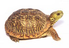 Buy Ornate Box Turtle