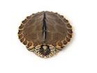Buy Pearl River Map Turtle
