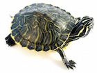 Buy Peninsula Cooter Turtle