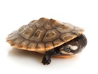 Buy Pink Bellied sideneck Turtle