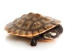 Buy Pink Bellied sideneck Turtle
