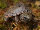 Buy a Razor Backed Musk Turtle