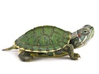 Buy a Red Eared Slider Turtle