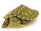 Buy Rio Grande Slider Turtle