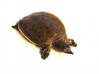 Buy a Spiny Softshell Turtle