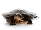 Buy a Spotted Turtle