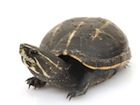 Buy Three Striped Mud Turtle