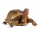 Buy a Three toed box turtle