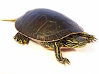 Buy a Western Painted Turtle