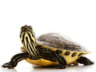 Buy a Yellow Bellied Slider Turtle