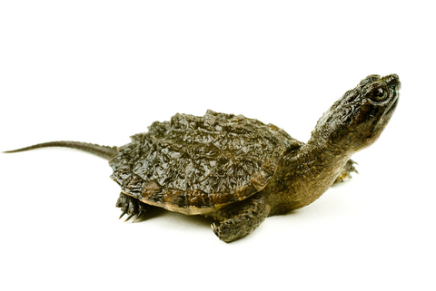 Snapping Turtle For Sale Reptiles For Sale