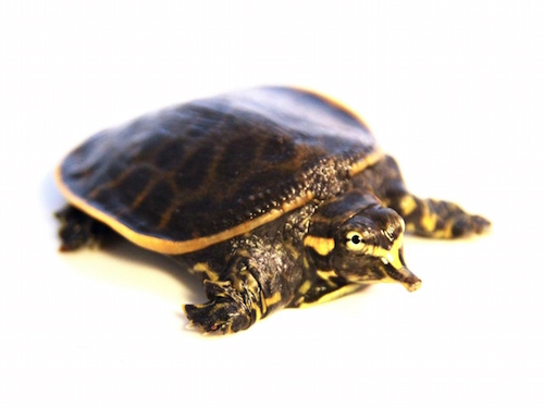 Florida Softshell turtle for sale