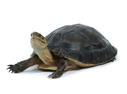 Indonesian Box turtle for sale - Cuora amboinensis