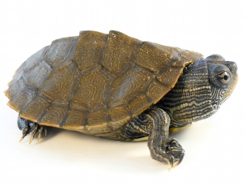 Baby Mississippi Map Turtle Mississippi Map Turtle for Sale | Reptiles for Sale