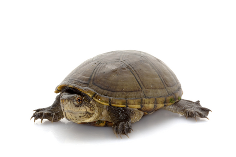Mississippi Mud turtle for sale