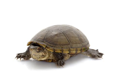Mississippi Mud turtle for sale