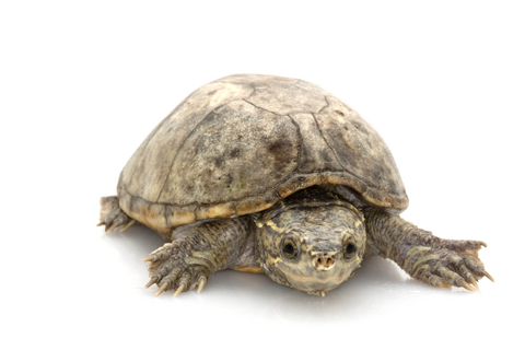 Musk turtle for sale