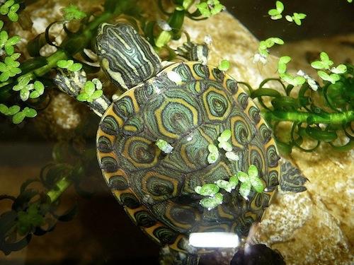 Nicaraguan Slider turtle for sale