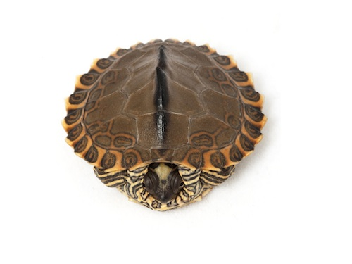 Pearl River Map turtle for sale