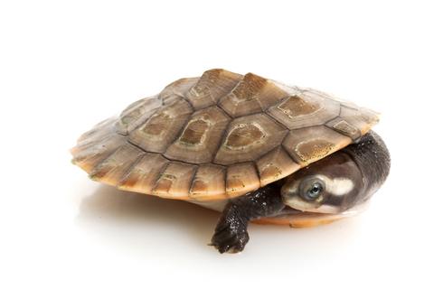Pink Bellied Sideneck turtle for sale