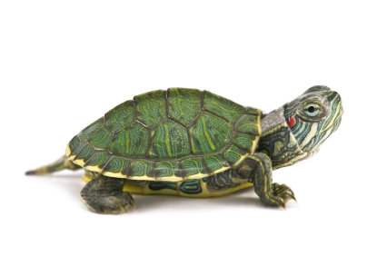 red eared slider turtle for sale reptiles for sale