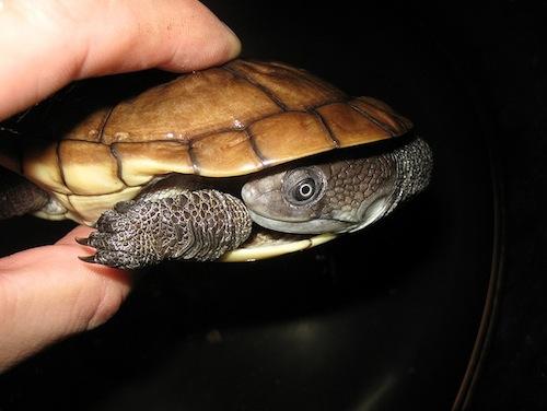 Reimanns snakeneck turtle for sale