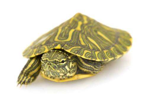 Rio Grande Slider turtle for sale