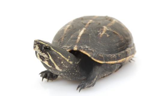 Three Striped Mud turtle for sale - Kinosternon baurii