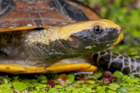 Twist Necked turtle for sale - Platemys platycephala