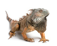 Reptiles for Sale - Choose From Over 500 Species