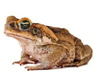 Buy a toad