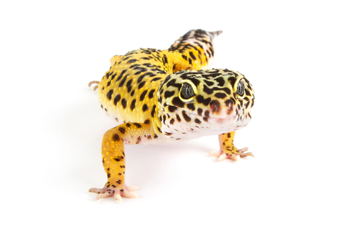 Leopard geckos for sale online