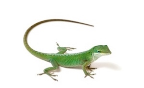 lizards for sale internet s largest selection