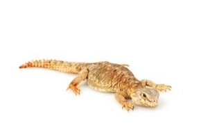 Lizards for Sale | Reptiles for Sale