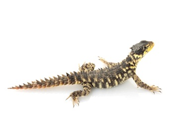 Rare lizards for sale online