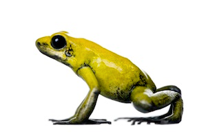 Poison arrow frogs for sale