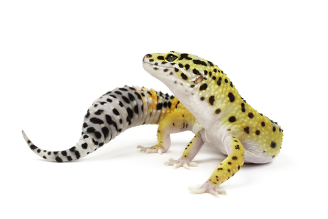 Leopard Gecko Care Sheet | Reptiles for Sale