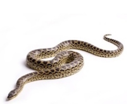 Snakes for Sale | Reptiles for Sale