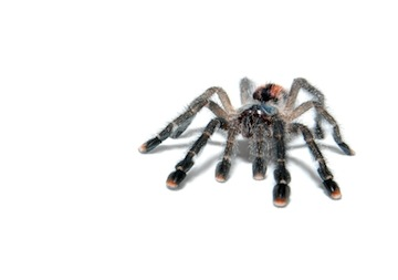 Tarantulas for sale online