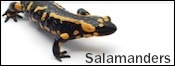 salamanders for sale