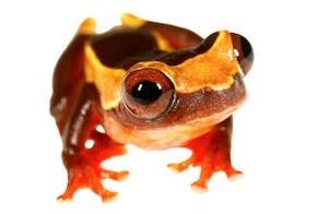 Tree Frogs for Sale   Reptiles for Sale